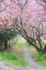 葉桜への路