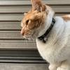 今日もお見送りネコに遭遇! 「花粉症で目がかゆいにゃ〜、クシャミもすごいニャンク