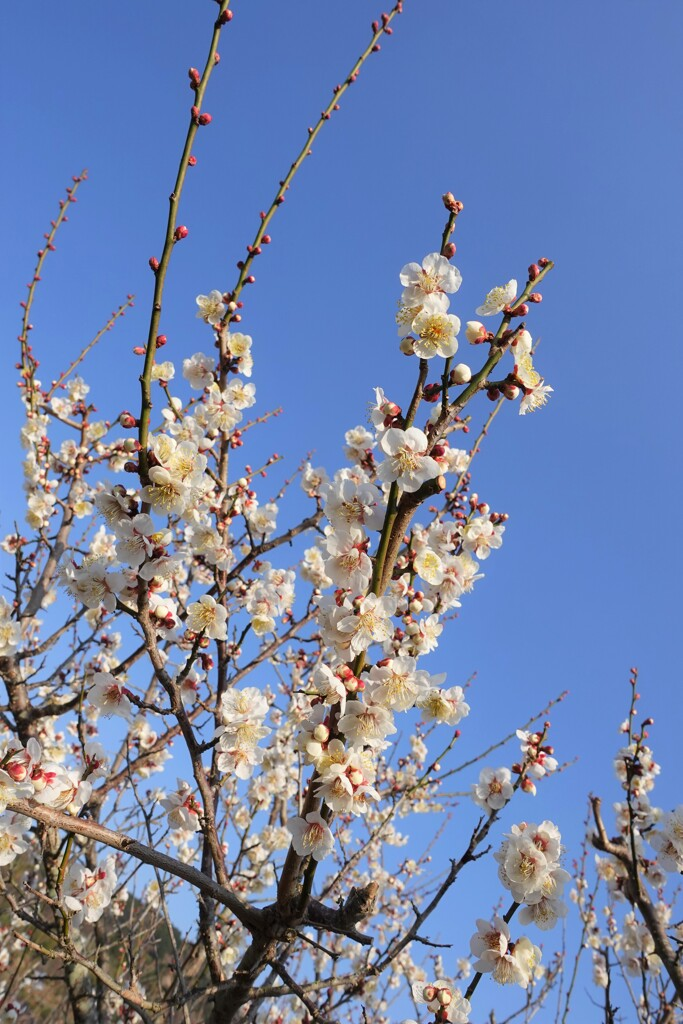 春の陽気と梅の花