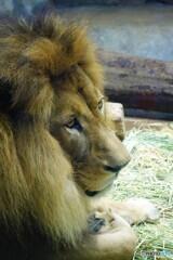 ライオンだぞ~