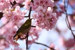 河津 桜 メジロ