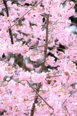 京都の桜 醍醐寺にて 2019