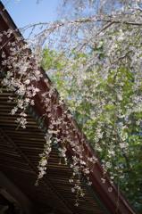 三春・桜紀行 (1)