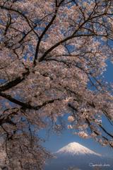 富士と桜⑦