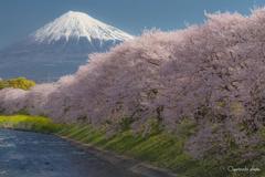 富士と桜⑥