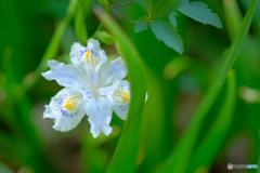 シャガの花2