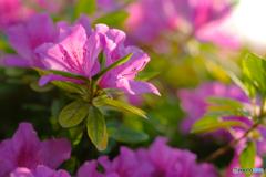 ツツジの花5