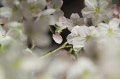 あした、咲く