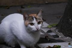 ハノイのネコ