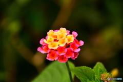 五行山の花