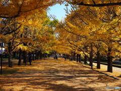 カナールイチョウ並木(昭和記念公園)