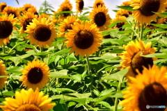 昭和記念公園の向日葵