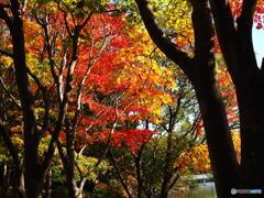 日本庭園の紅葉(昭和記念公園)