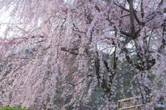 祇園の枝垂れ桜