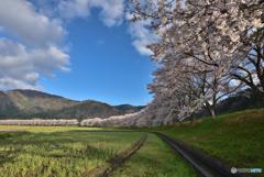 桜は続くよどこまでも