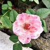 12 薔薇