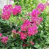 14 鮮やかな赤い花