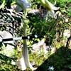 最後のタカサゴユリも開花_20200829-DSC_0005