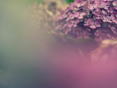 紫陽花の色気