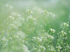 ペンペン草の背くらべ