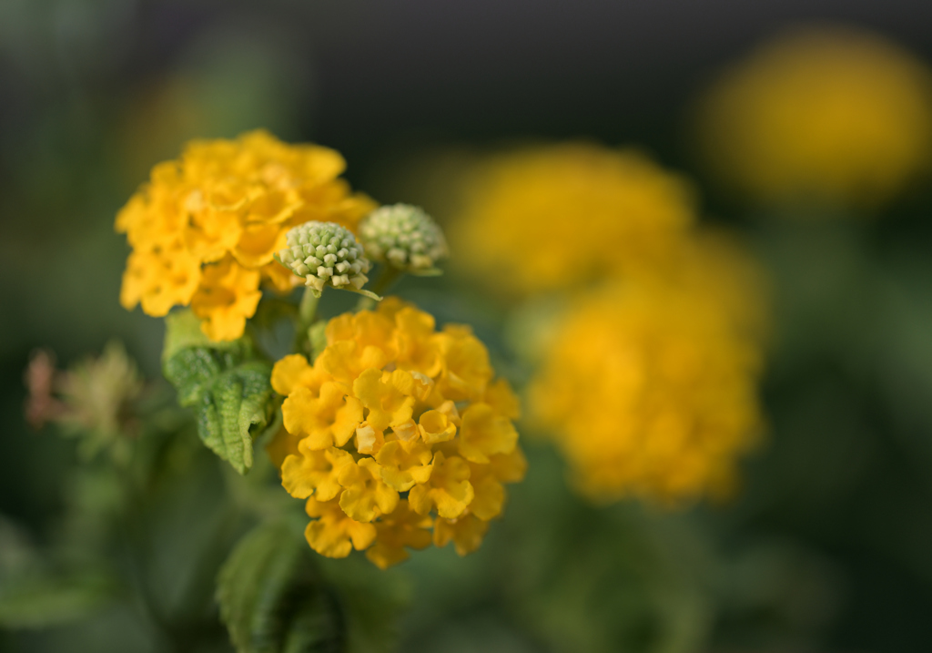奥さんのお庭  黄色いサンタナ?