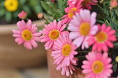 奥さんのお庭 可愛いピンク