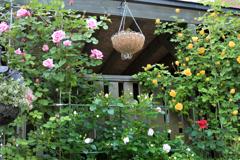 奥さんのお庭  たくさん薔薇