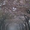 ぷらっと旅 函館 松陰町桜並木 1