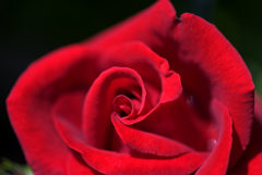 奥さんのお庭 ロブロイの紅