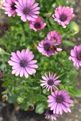 奥さんのお庭 やっと今年の花です