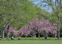 ふらり散歩 桜の下で