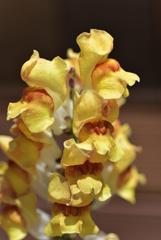 奥さんのお庭 黄色い金魚