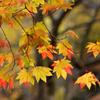 ふらり散歩 身近な紅葉