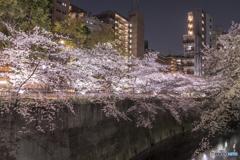 神田川のライトアップ1
