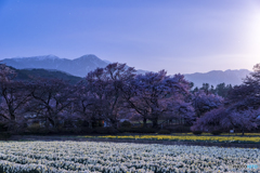 月夜の観桜