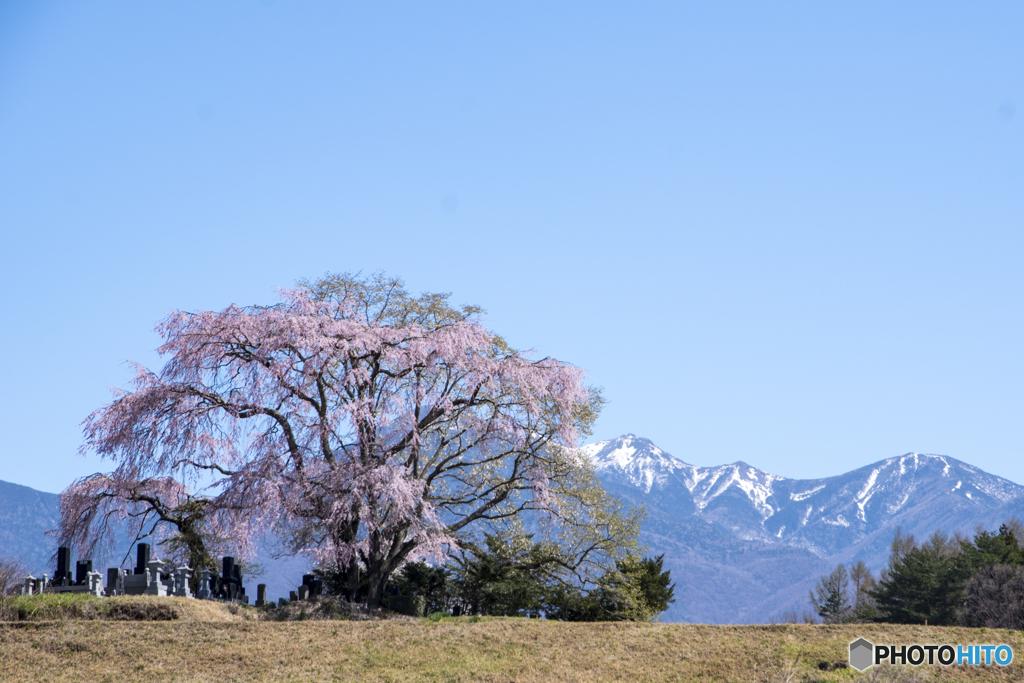 田端の桜と八ヶ岳