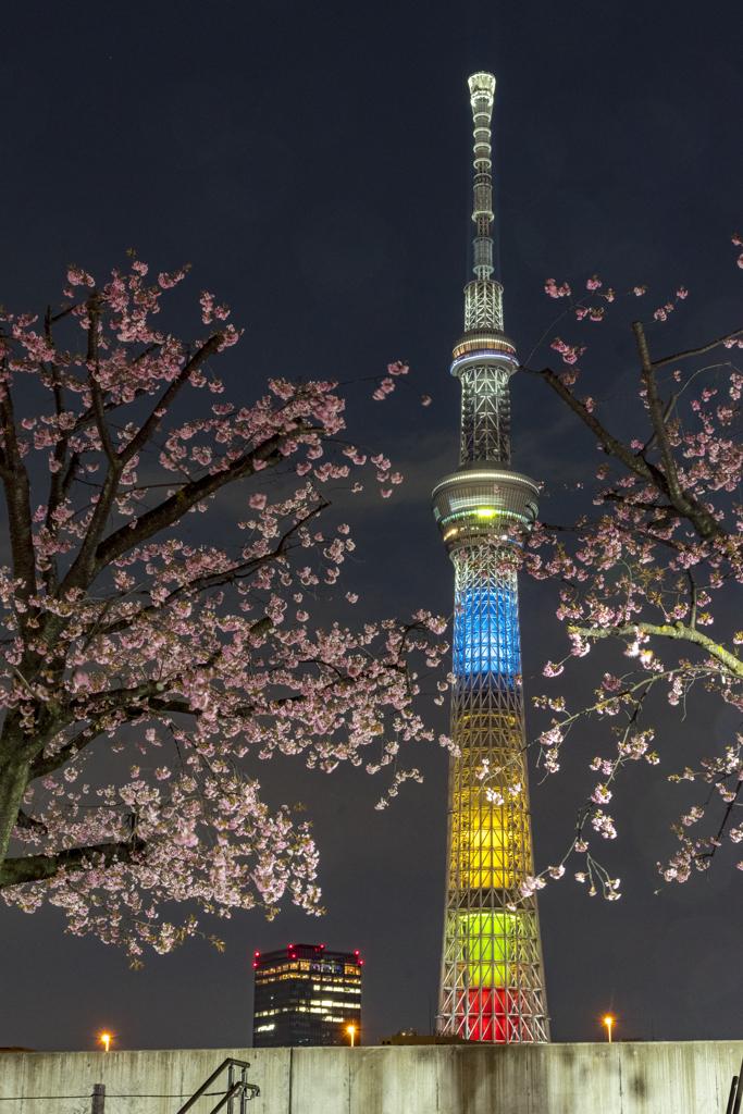 寒桜と五輪色
