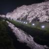 2019野川の桜