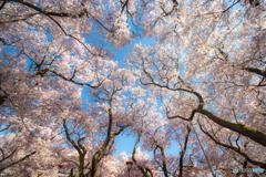 降り注ぐ春色