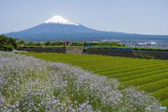 松葉海蘭と富士山