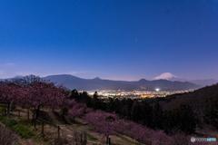 月光の桜見物