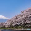 竜巖淵の桜 午後