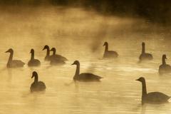 朝靄の中の白鳥