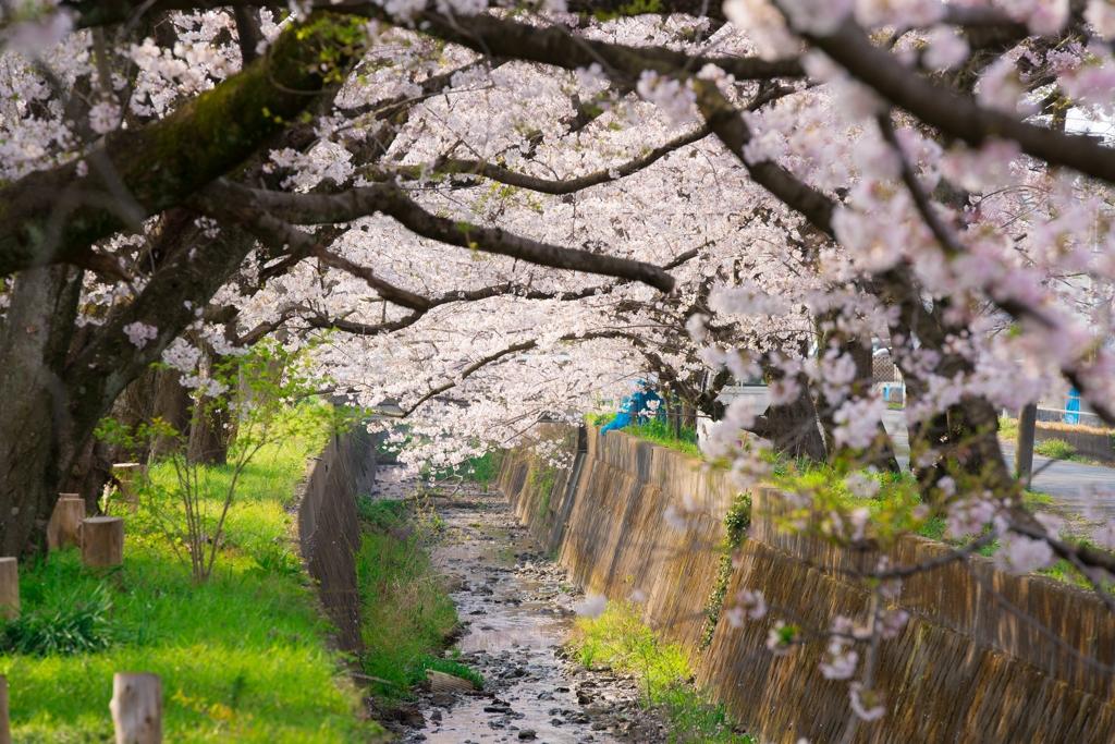 田島桜まつり