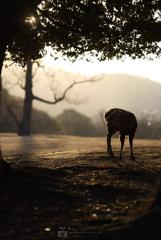 鹿之丞と朝の飛火野