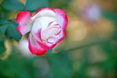 秋バラ#2