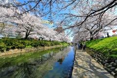 松川の桜と青空