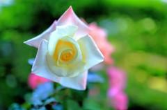 二年目突入 白いバラ