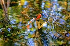 錦鯉の写真