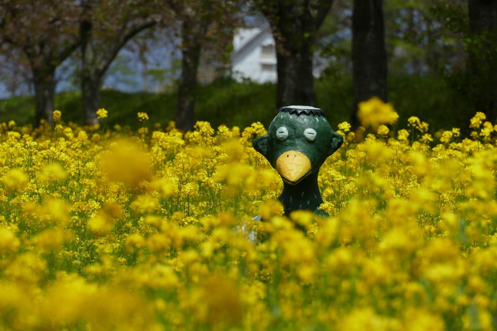 菜の花に埋もれて